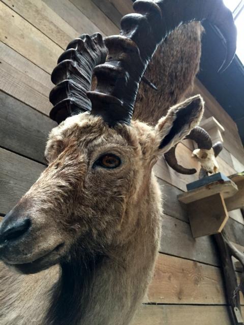 Recently stuffed ibex