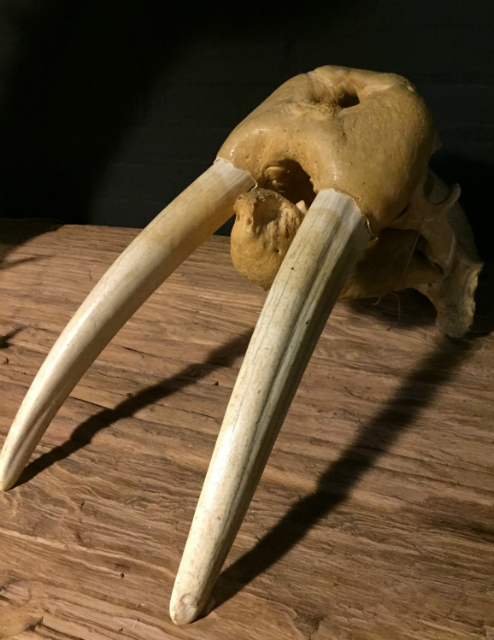 Particular old walrus skull