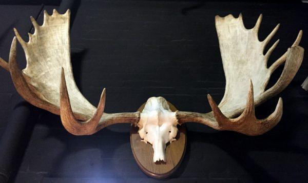 Enorm gewei van een Canadese eland
