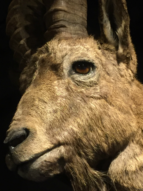 Extremely nice tropy head of an ibex.