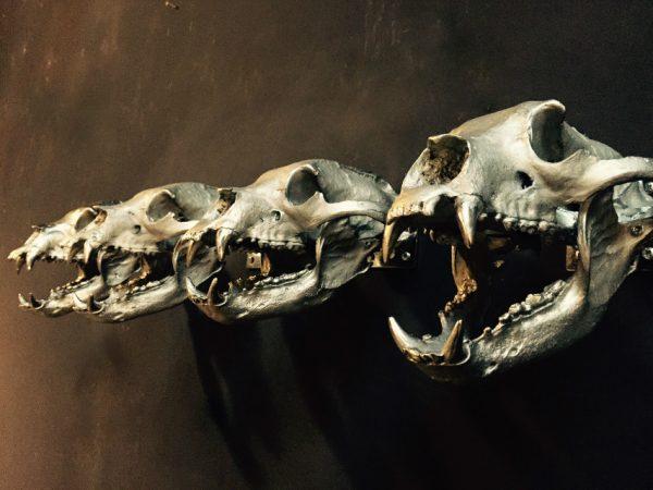 Sehr einzigartige Bronzegüsse von echten Bären Schädel.