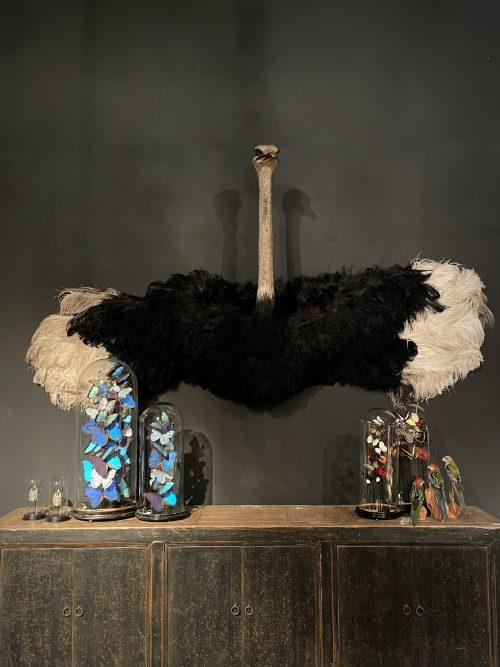 Opgezette Struisvogel
