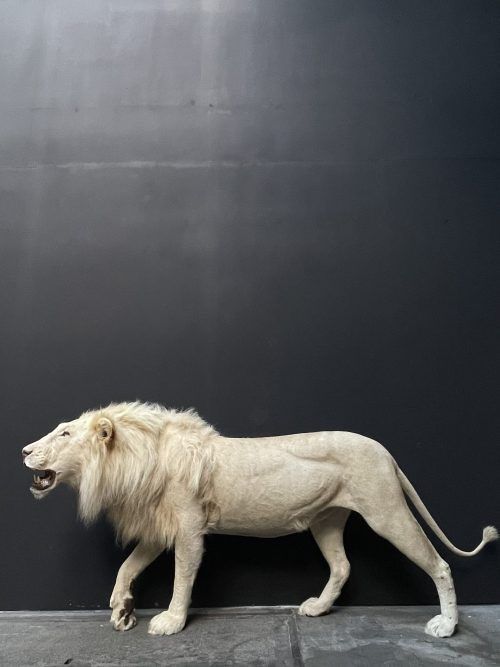 Opgezette witte leeuw. Opgezette leeuw