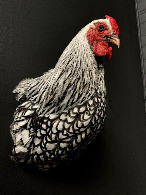 Opgezette kop van een kip