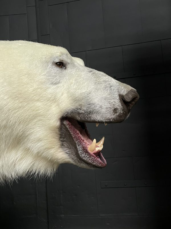 Nieuwe opgezette ijsbeer