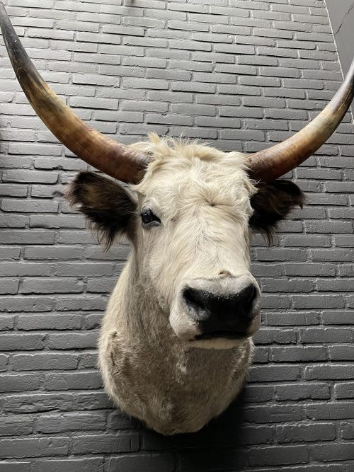 Mounted head of a Hungarian bull