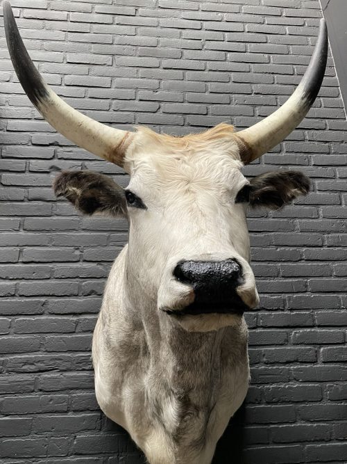 Taxidermy head of a large Hungarian bull