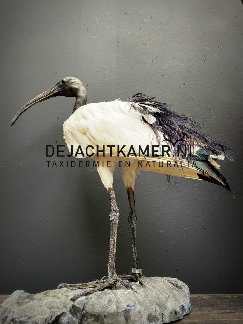 Opgezette heilige ibis