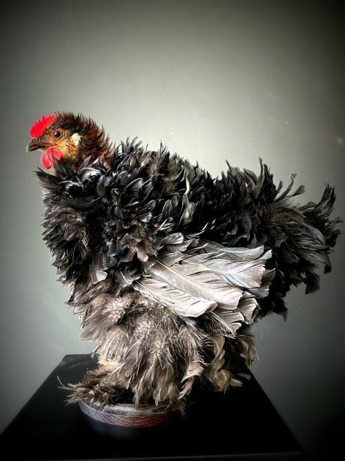 Opgezette kip, Cochin krulveer hoen