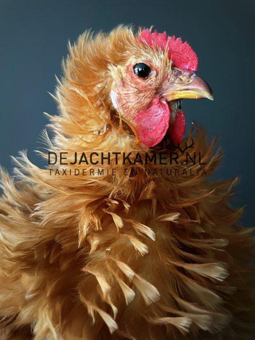 Opgezette kip, Cochin krulveer hoen.