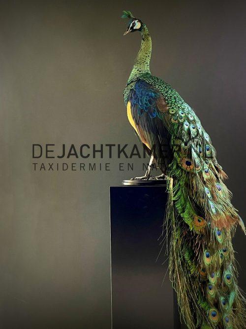 Mounted Java peacock (Pavo muticus)