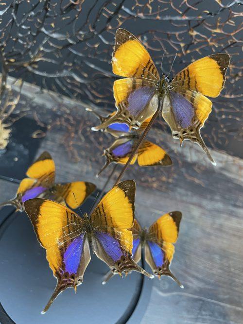 Modern bell jar filled with butterflies