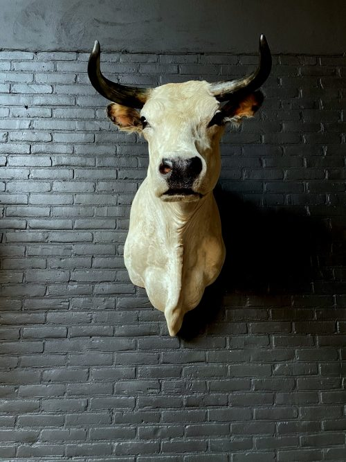 Stylish stuffed Piedmontese bulls head