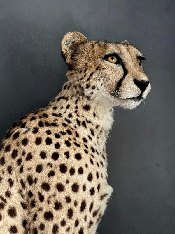 Recent opgezette Cheetah.