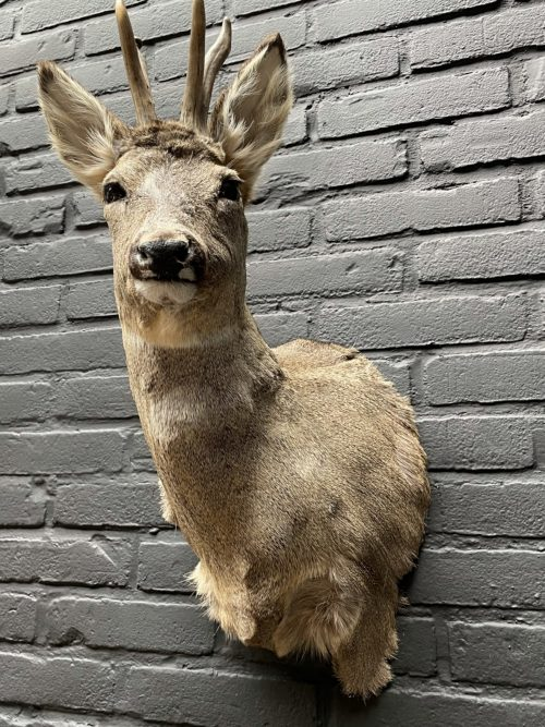 Taxidermy head of an old strong roebuck in winter coat
