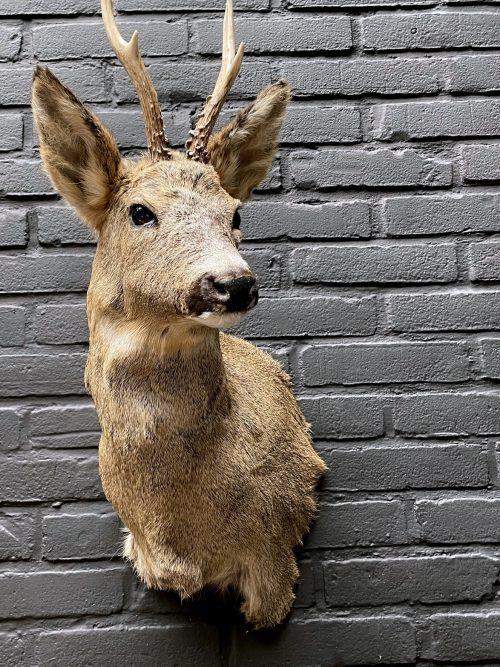 Mounted head of a roebuck in winter coat
