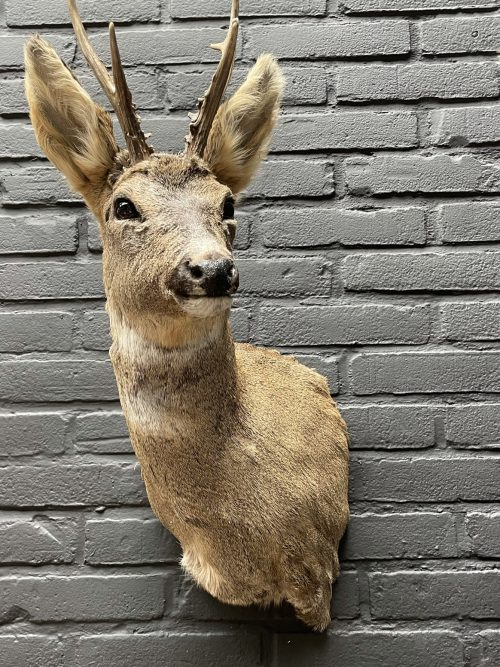 Roebuck head