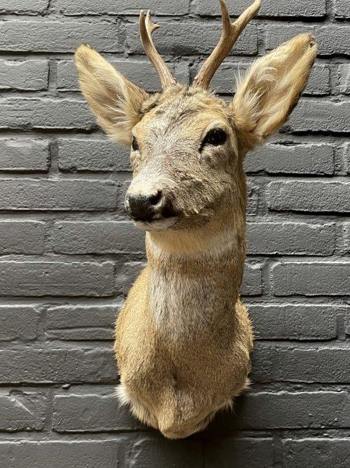 Head of a roebuck