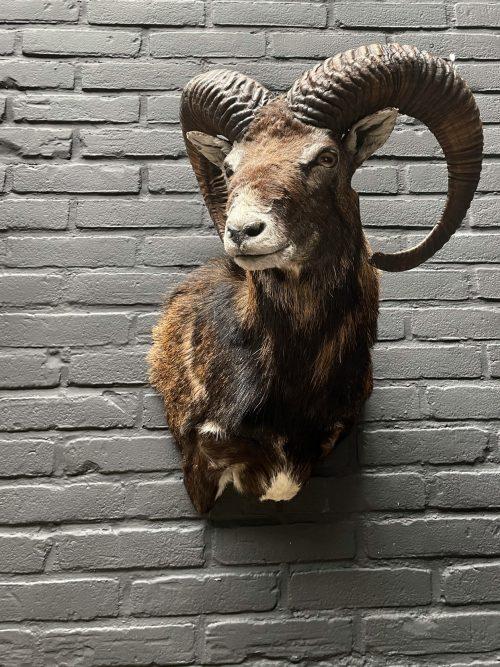 Head of a capital mouflon