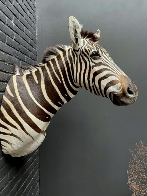 Mounted head of a Burchell zebra. Zebra head