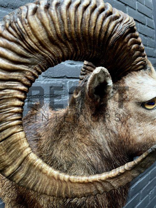 Head of a kapital mouflon ram.