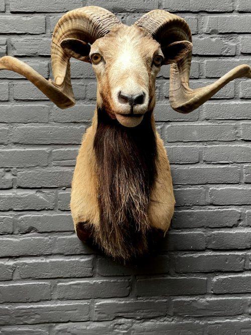 Mounted head of a Corsican ram.