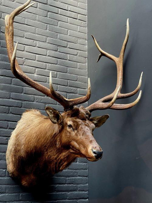 Mounted head of a Wapiti