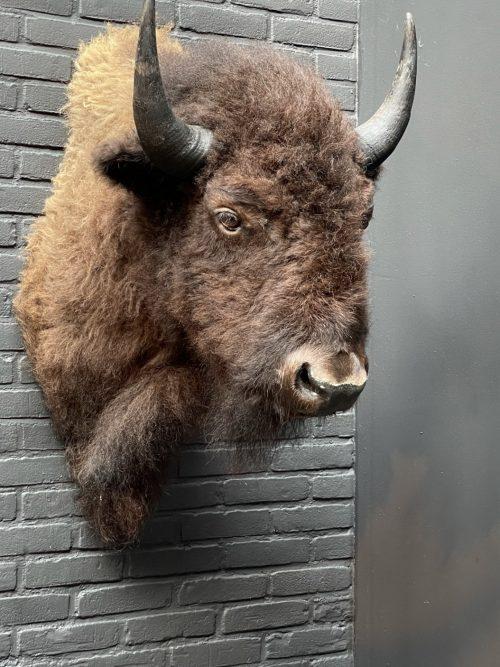 Beautiful stuffed bison head