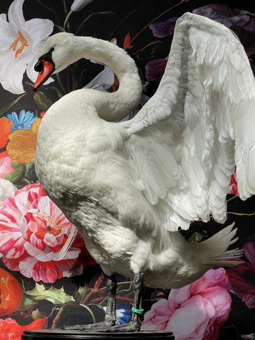 Taxidermy swan
