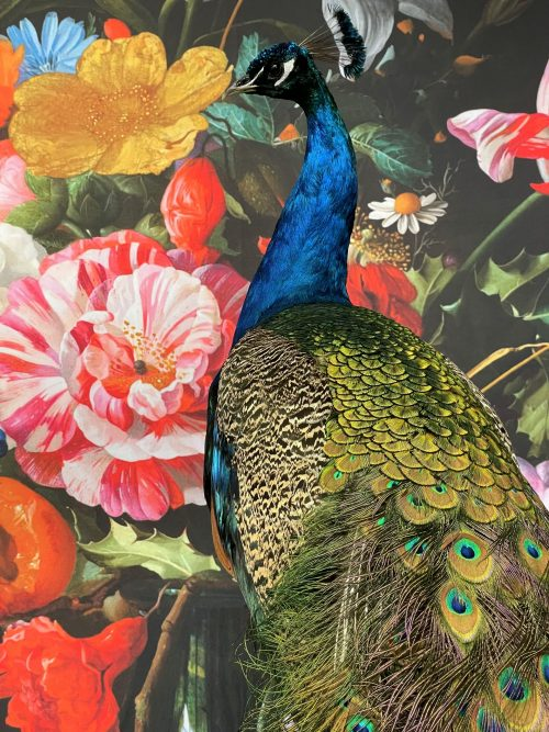 Taxidermy blue peacock