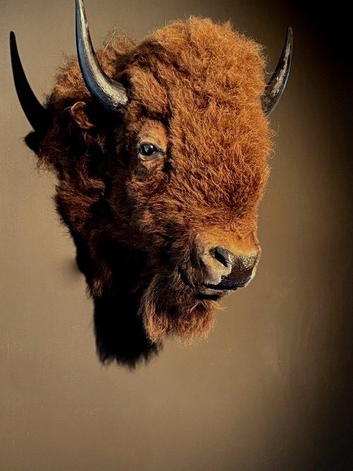 Opgezette kop van een bizon