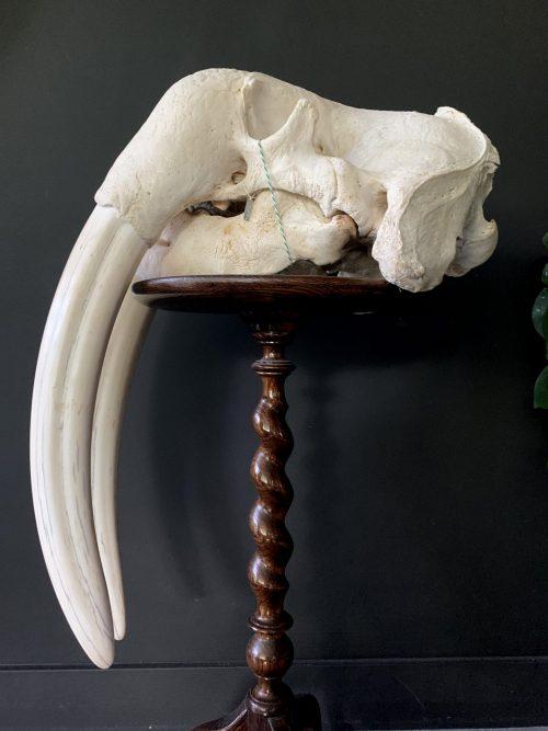 Heavy skull of a walrus