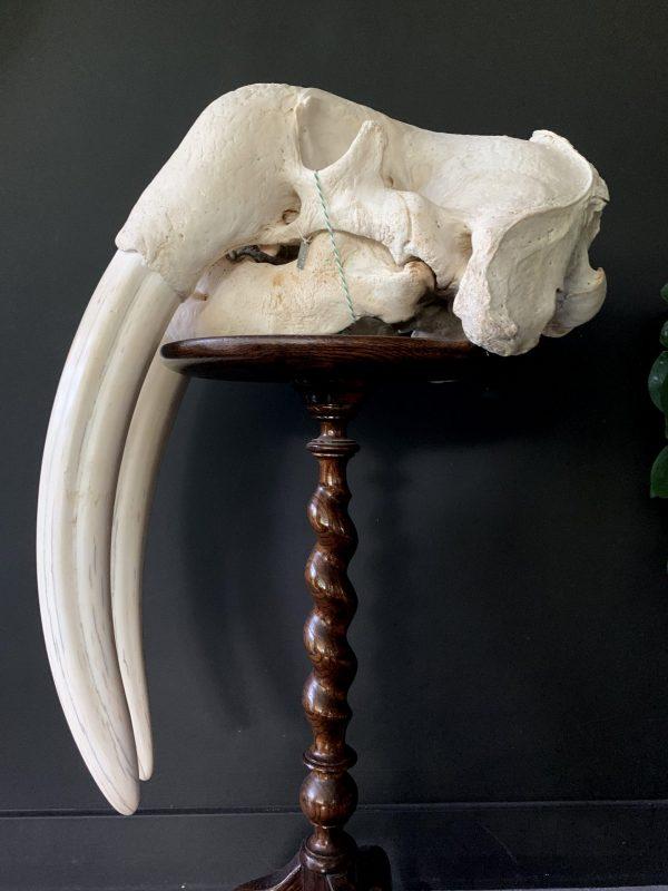 Zware schedel van een walrus
