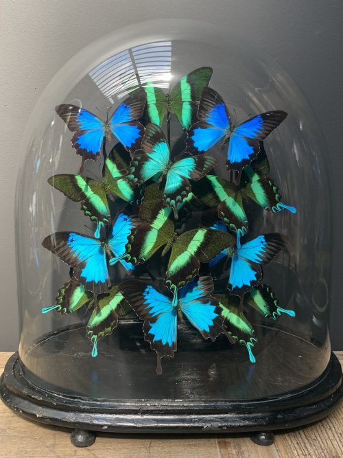 Antique oval dome with mix of Papilio Ulysses and Blumei butterflies
