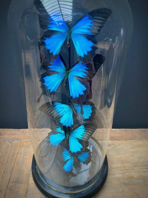 Antieke stolp met blauwe vlinders