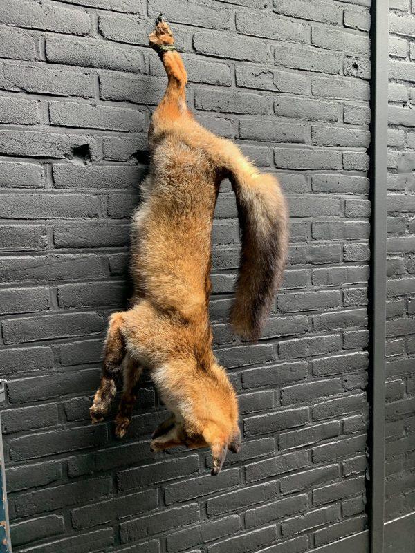 Opgezette vos als stilleven