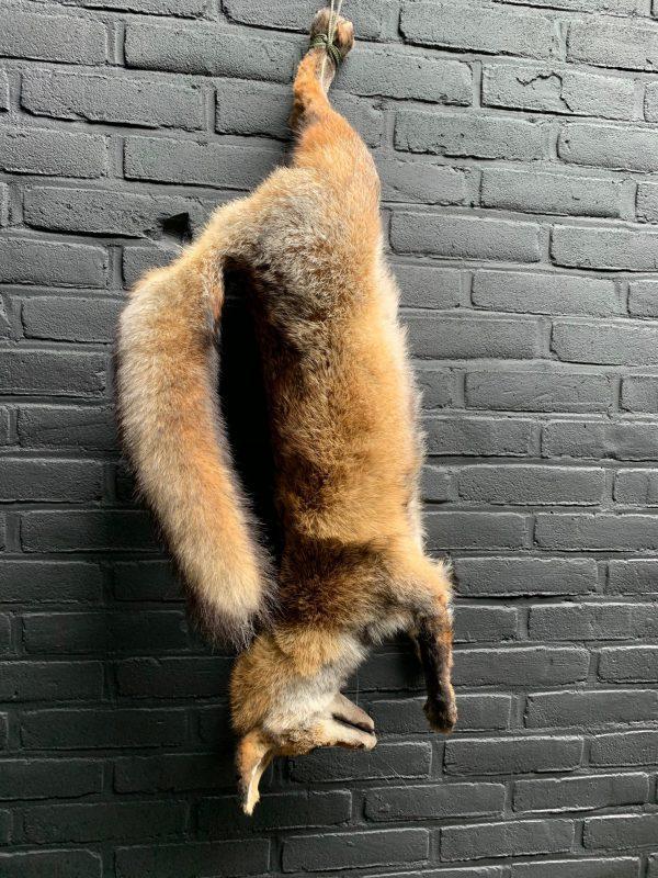Mounted taxidermy fox as still life.
