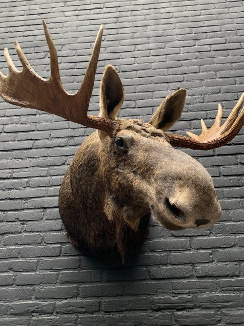Recently stuffed head of a Scandinavian moose