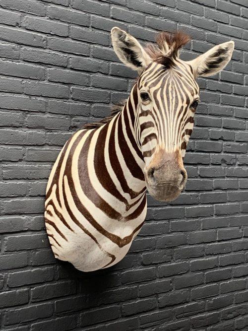 Präparatorenkopf eines Zebras