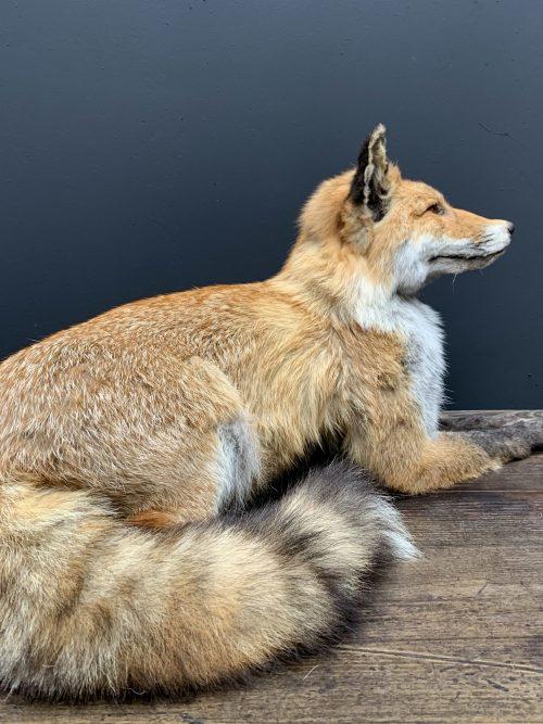 Ausgestopfter liegender Fuchs