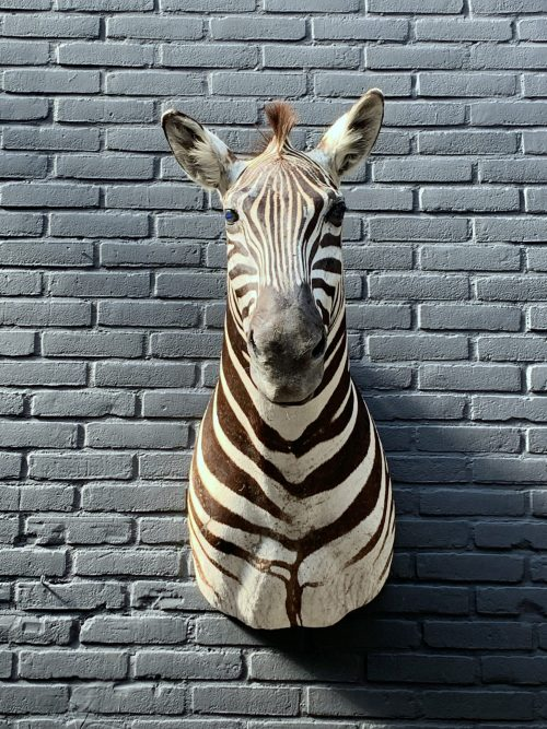 Recently stuffed head of a Burchell zebra