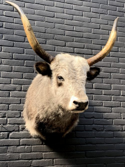 Imposing stuffed head of a Hungarian steppe cattle. Stuffed cow's head