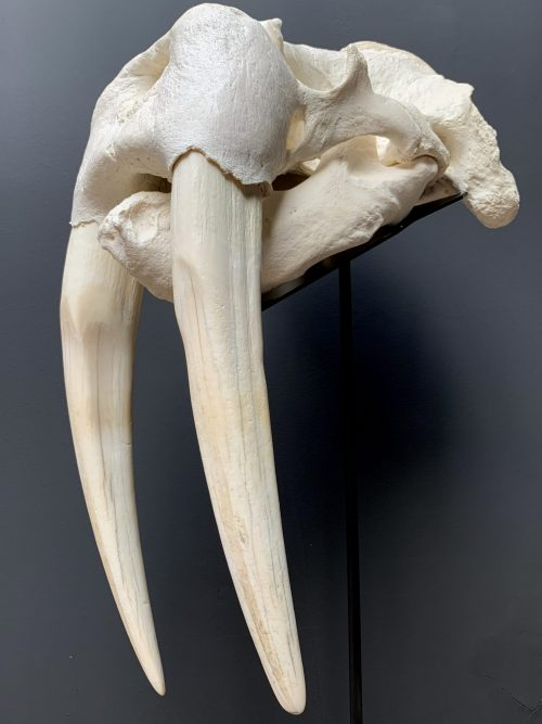Walrus Schedel