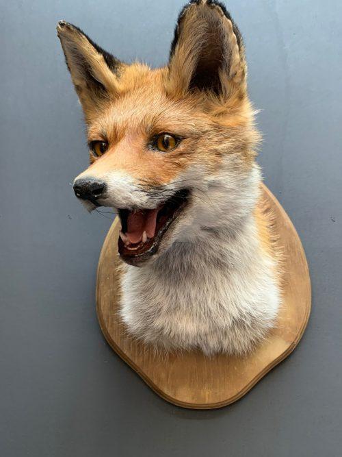 Opgezet kopje van een vos. Vossenkop