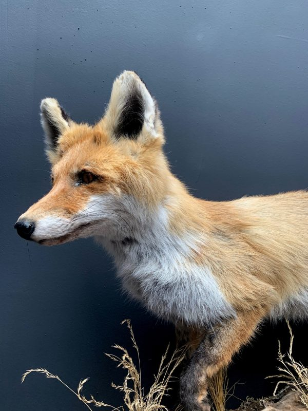 Fuchs mit Winterfell