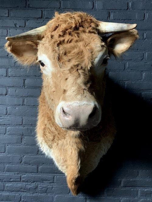 Opgezette kop van een Blonde Limousin koe