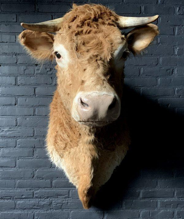 Ausgestopfter Kopf eines blonden Limousin-Kuh