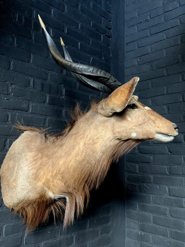 Vintage hunting trophy of a Nyala