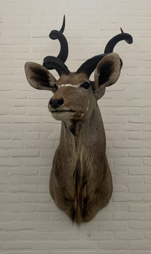 Taxidermie Kudu Kopf