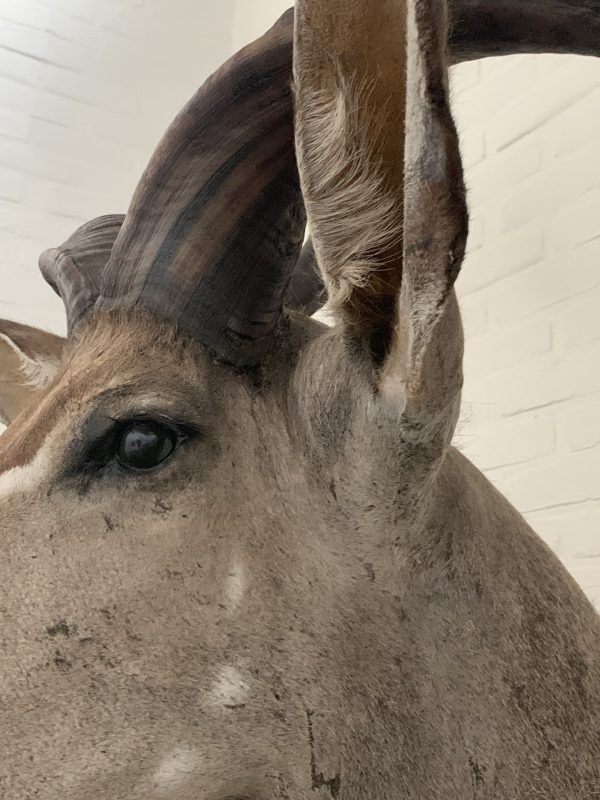 Opgezette kop van gigantische koedoe